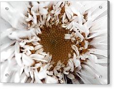 A Daisy Acrylic Print by Bransen Devey