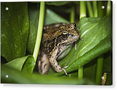 A Frog Perches On Wapato Leaves Acrylic Print by Robert L. Potts