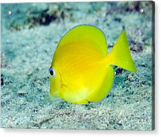 A Juvenile Blue Tang Searching Acrylic Print by Terry Moore