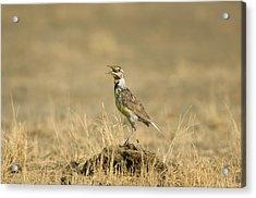 A Juvenile Western Meadowlark Acrylic Print by Joel Sartore