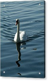 A Lone Swan Swims Through The Water Acrylic Print by Todd Gipstein