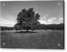 A Majestic White Oak Tree In Cades Cove - 2 Acrylic Print by Frank J Benz
