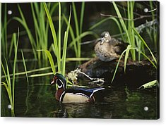 A Male Wood Duck Swims Past Its Mate Acrylic Print by Raymond Gehman
