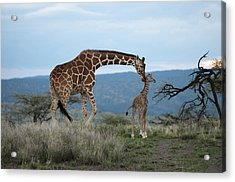 A Mother Giraffe Nuzzles Her Baby Acrylic Print by Pete Mcbride