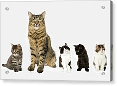 A Mother With Four Kittens All Sitting In A Row. Acrylic Print by Nicola Tree