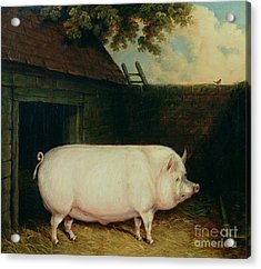 A Pig In Its Sty Acrylic Print by E M Fox