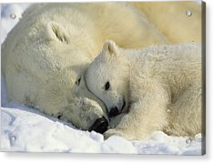 A Polar Bear And Her Cub Napping Acrylic Print by Norbert Rosing
