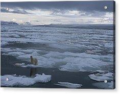 A Polar Bear On A Disintergrating Ice Acrylic Print by Paul Nicklen