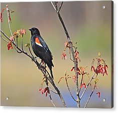 A Red Wing Acrylic Print by Robert Pearson