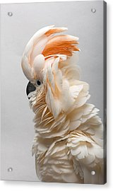 A Salmon-crested Cockatoo Acrylic Print by Joel Sartore