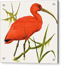 A Scarlet Ibis From South America Acrylic Print by Kenneth Lilly