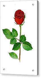 A Single Rose Acrylic Print by Irina Sztukowski
