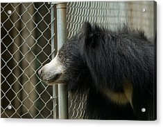 A Sloth Bear Melursus Ursinusat Acrylic Print by Joel Sartore
