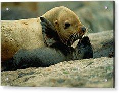 A Steller Sea Lion Cow Eumetopias Acrylic Print by Joel Sartore