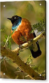 A Superb Starling Perched On An Acacia Acrylic Print by Roy Toft