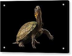 A Threatened Bog Turtle At Zoo Atlanta Acrylic Print by Joel Sartore