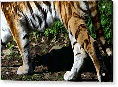 A Tigers Stride Acrylic Print by Karol Livote