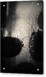 Abalone Silhouette  Acrylic Print by John Pierpont