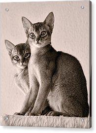 Abyssinian Kittens Acrylic Print by Ari Salmela