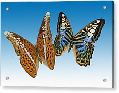 Admiral And Clipper Butterfly Acrylic Print by Betsy C Knapp