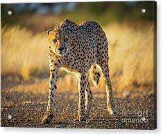 African Cheetah Acrylic Print by Inge Johnsson