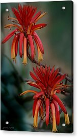 African Fire Lily Acrylic Print by Joseph G Holland