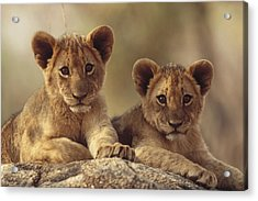 African Lion Cubs Resting On A Rock Acrylic Print by Tim Fitzharris