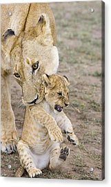 African Lion Mother Picking Up Cub Acrylic Print by Suzi Eszterhas