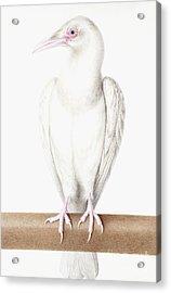 Albino Crow Acrylic Print by Nicolas Robert