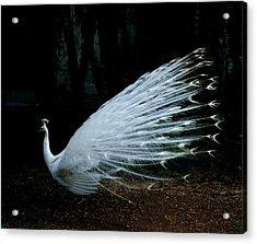 Albino Peacock Acrylic Print by Yvonne Ayoub