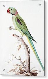 Alexandrine Parakeet Acrylic Print by Nicolas Robert