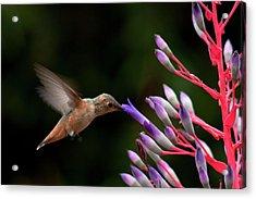 Allen's Hummingbird At Breakfast Acrylic Print by Mike Herdering