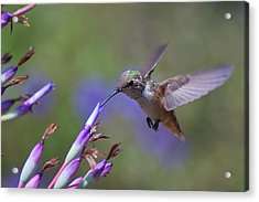 Allen's Hummingbird Acrylic Print by Mike Herdering