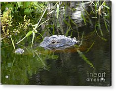 Alligator Hunting Acrylic Print by David Lee Thompson