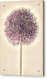 Allium Alone Acrylic Print by John Edwards