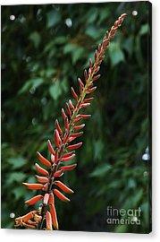Aloe Flower Acrylic Print by Chandra Nyleen