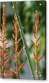 Aloe In Bloom Acrylic Print by Chandra Nyleen
