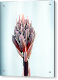 Aloe Vera Bloom Acrylic Print by Evelyn Patrick