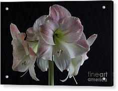 Amaryllis Full Bloom Acrylic Print by Elena Nosyreva