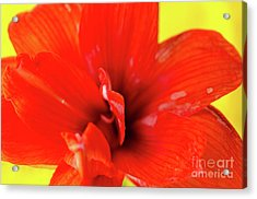 Amaryllis Jaune Red Amaryllis Flower On Bright Yellow Background Acrylic Print by Andy Smy
