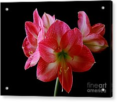 Amaryllis Acrylic Print by The Stone Age