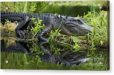 American Alligator In The Wild Acrylic Print by Dustin K Ryan