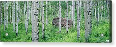 American Aspen Trees In The Forest Acrylic Print by Panoramic Images
