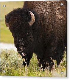 American Bison Tongue Acrylic Print by Chad Davis