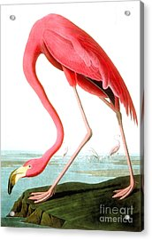 American Flamingo Acrylic Print by John James Audubon