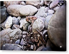 American Toad Acrylic Print by Ryan Kelly