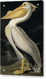 American White Pelican Acrylic Print by John James Audubon