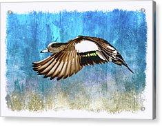American Widgeon Drake Acrylic Print by John Williams