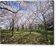Amid Cherry Trees Washington D.c. Cherry Blossom Festival Acrylic Print by Brendan Reals