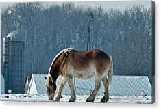 Amish Horse Acrylic Print by Maria Suhr